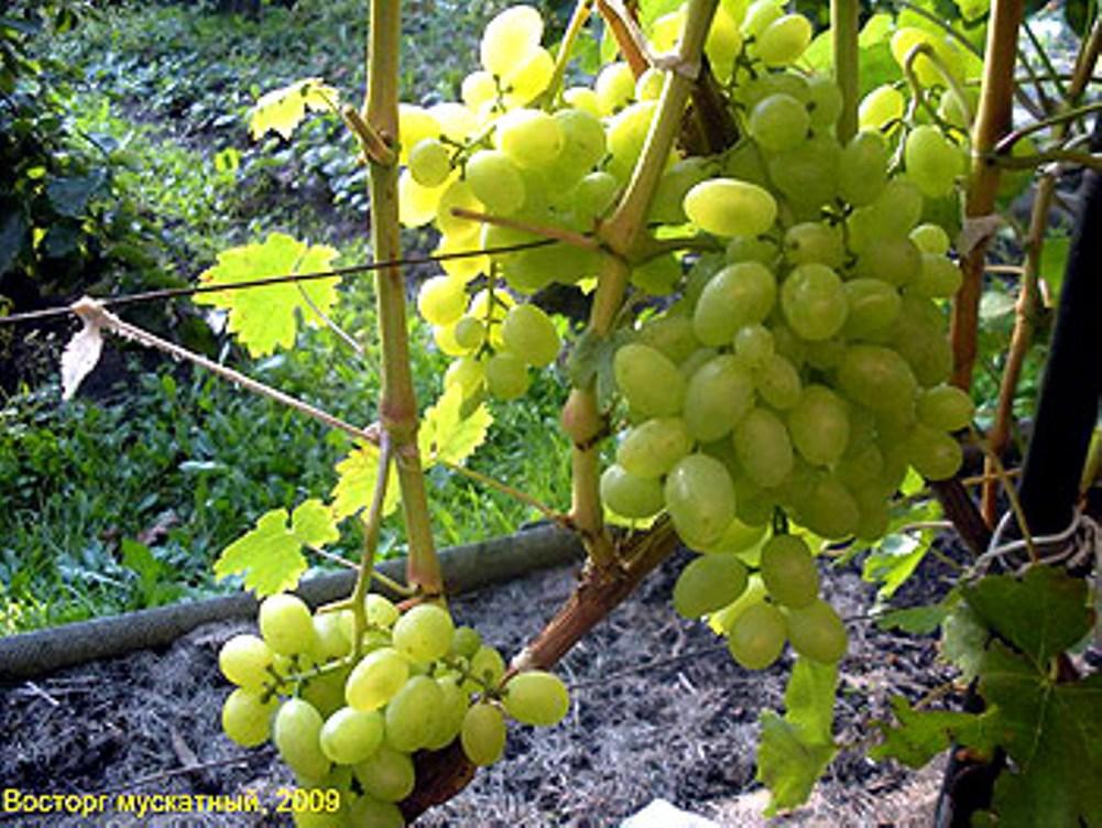 Неприхотливый и полезный для здоровья сорт винограда «восторг идеальный»