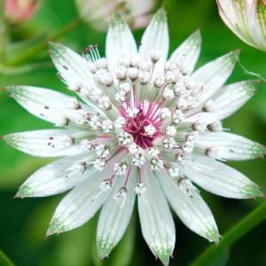 Астранция цветет долго