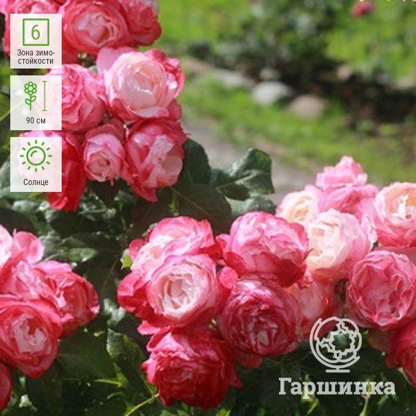 5 проверенных способов, как сохранить саженцы роз до весны