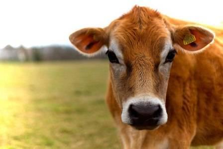 Коровы джерси (джерсейская)