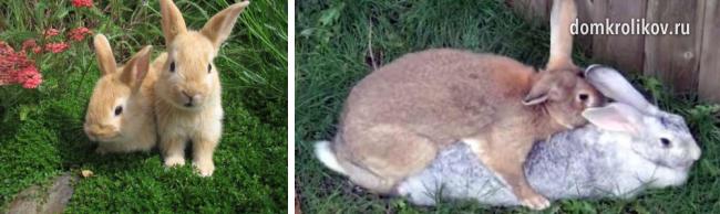 В каком возрасте кролики готовы к спариванию?