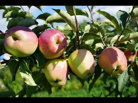 О яблоне синап орловский: описание сорта, характеристики, агротехника