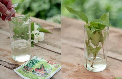 Как размножить жасмин? размножение черенками летом. как укоренить ветки куста? как рассадить жасмин делением или отводками?