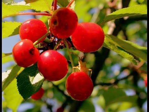 Пересадка вишни на новое место осенью как залог приживаемости