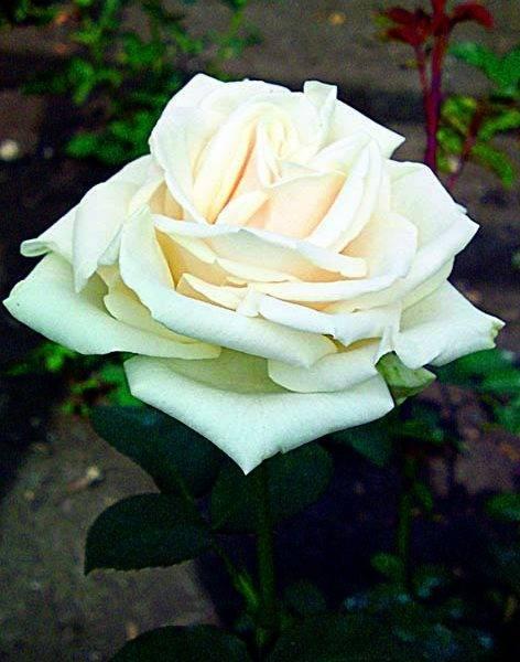 Роза шнеевальцер (schneewalzer) — характеристики и условия ухода