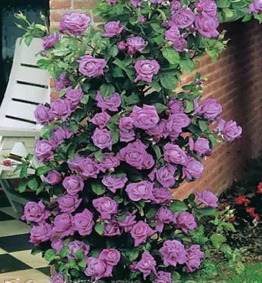 Роза индиголетта: описание, технология выращивания