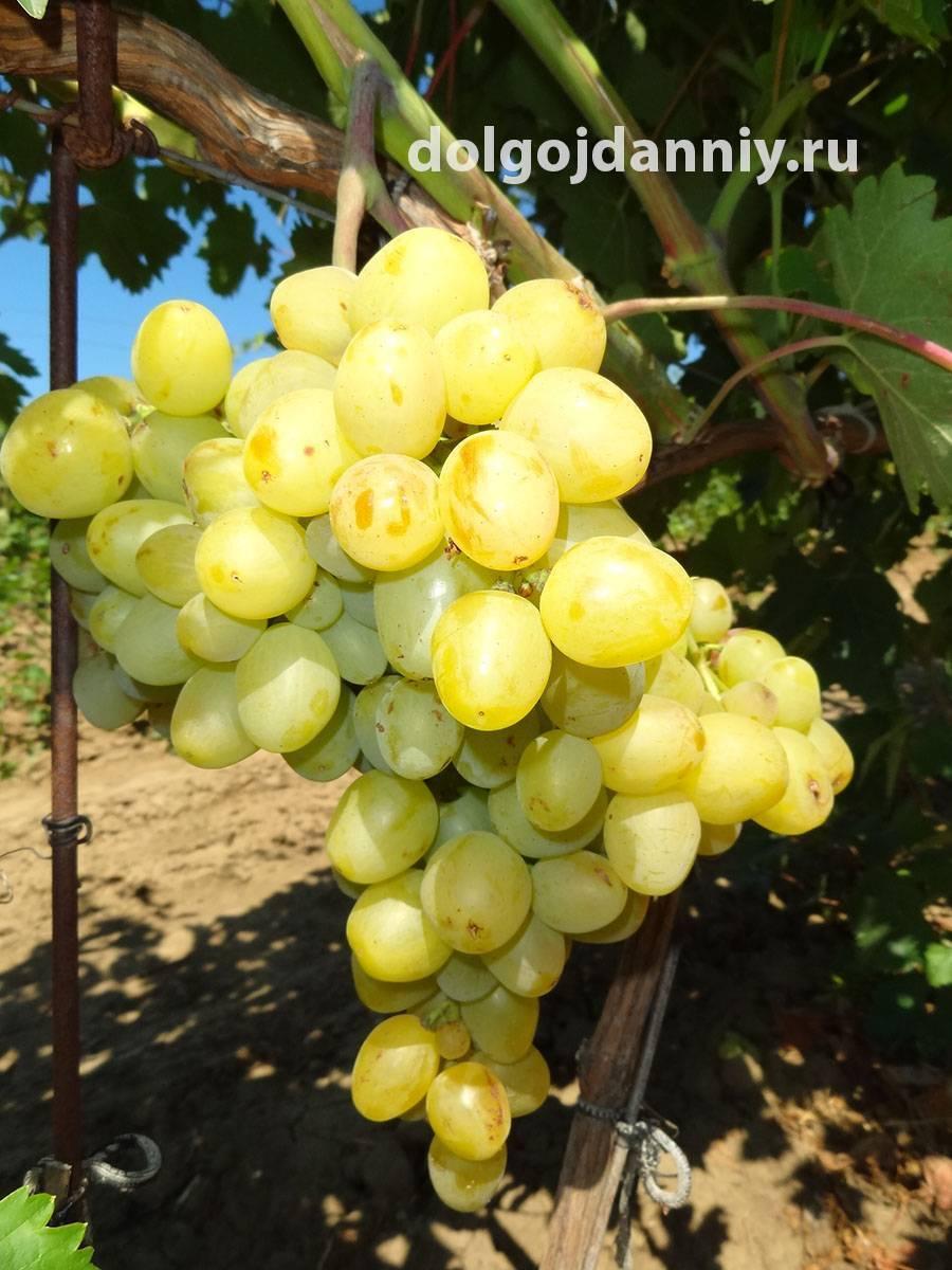 Особенности посадки и выращивания сверхраннего винограда сорта супер экстра