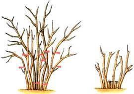 Когда начинает плодоносить крыжовник после посадки саженцев, сколько живёт куст крыжовника