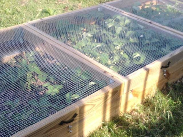 Как защитить клубнику от птиц и спасти урожай