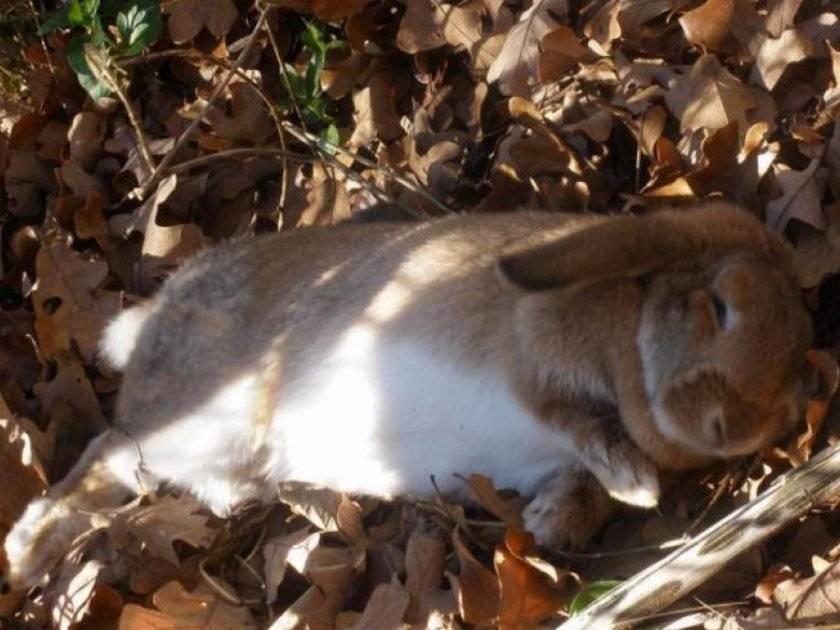 Лечение кокцидиоза у кроликов — симптомы и способы борьбы