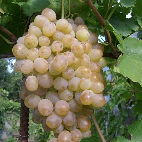 Сверхранний сорт винограда мускат красный