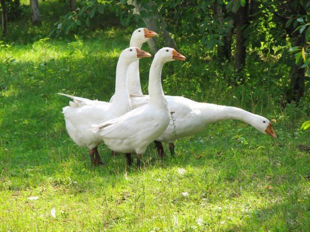 Порода гусей линда: особенности и разведение