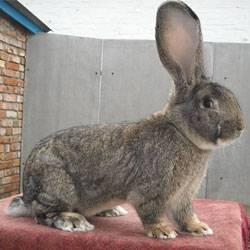 Кролики ризен – немецкие великаны