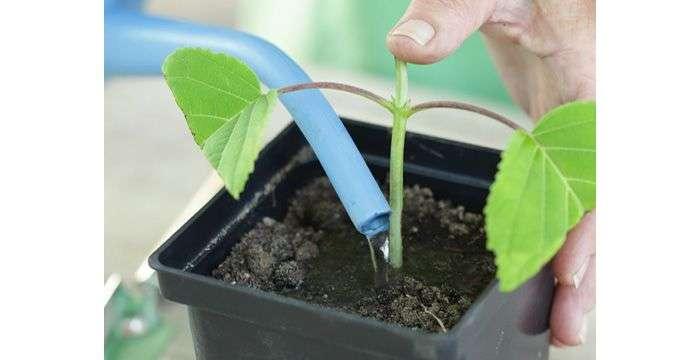Размножение садовых и комнатных гортензий черенками