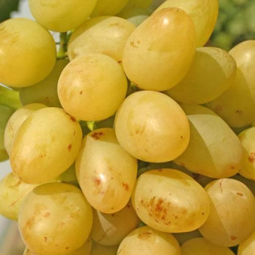 Виноград викинг описание сорта
