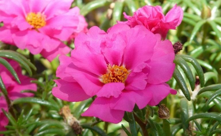 Как посадить и выращивать портулак: условия для размножения растения дома