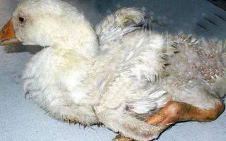 От чего гусята падают на ноги лечение