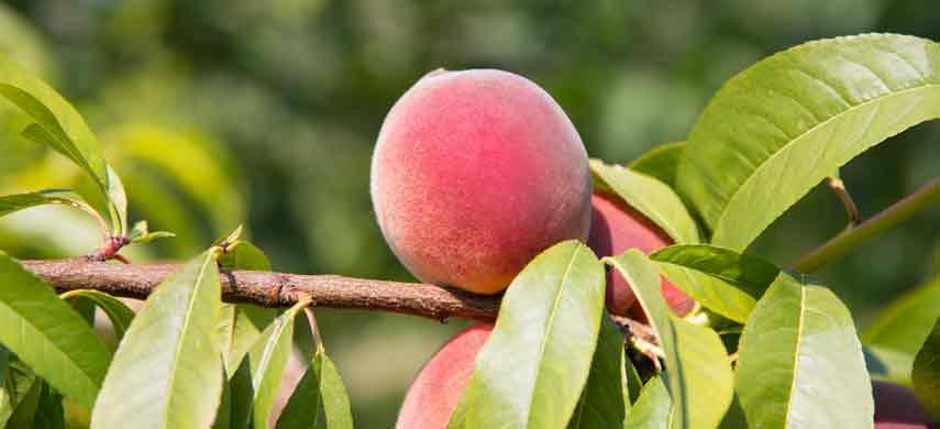 Как вырастить персик из косточки – можно ли это сделать, как выбрать и подготовить косточку?