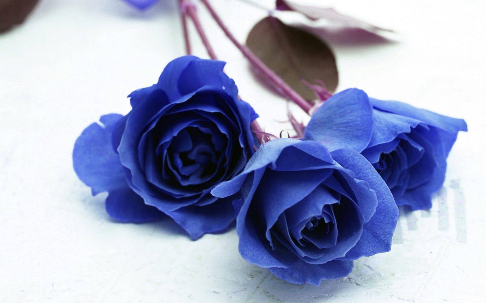 Синяя роза — википедия переиздание // wiki 2