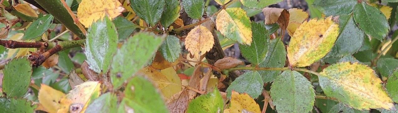 Что делать, если у садовой розы желтеют листья – руководство по лечению растения