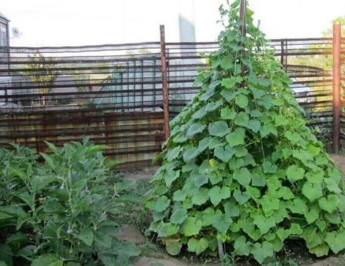 Выращивание огурцов ёлочкой: интересный способ, требующий модернизации