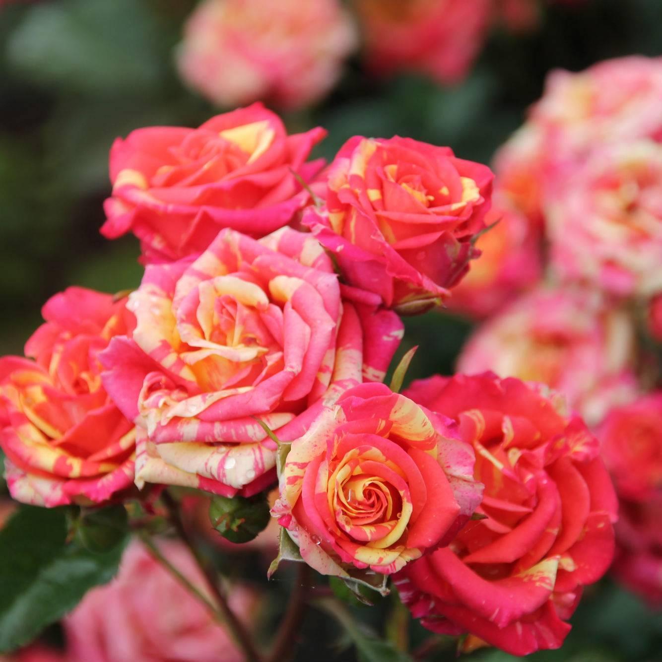 Роза спрей – простое руководство по посадке и уходу