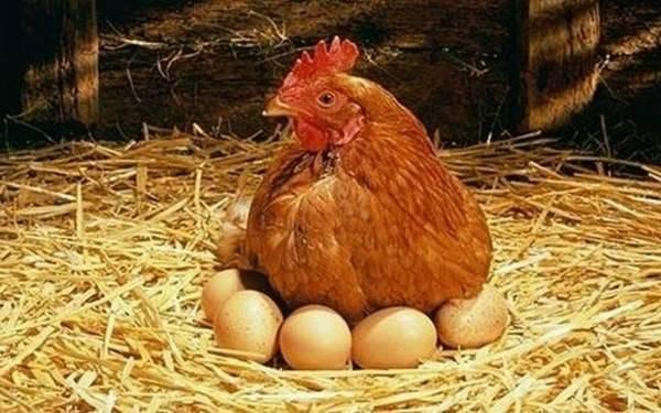 Организация кормления молодняка кур: как составить рацион, чтобы он был эффективным для роста и здоровья птиц?