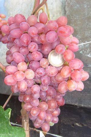 Виноград софия: описание, фото и отзывы