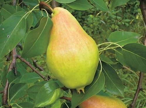 Груша августовская роса: описание сорта, фото, отзывы, опылители, выращивание и уход