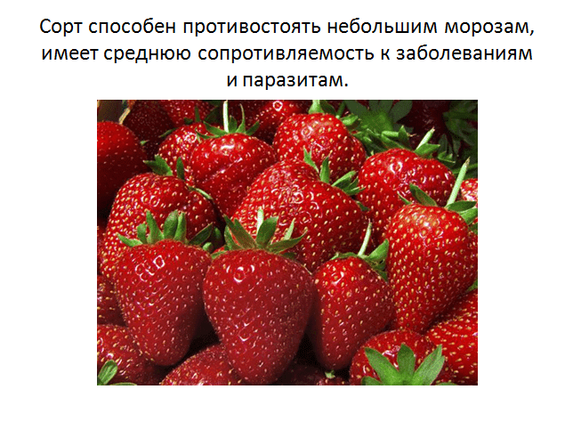 Ремонтантная безусая земляника руяна: все хитрости выращивания ароматной ягоды