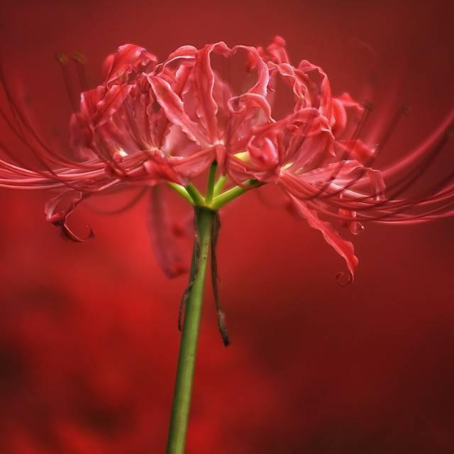 Лилия «эприкот фадж»: описание и выращивание