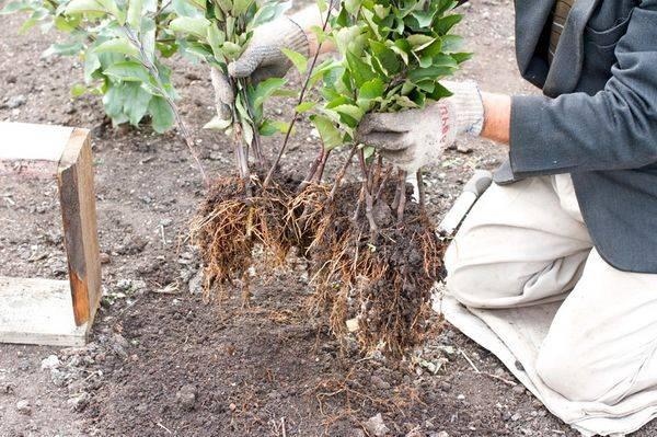 Как размножить грушу летом черенками – пошаговая инструкция