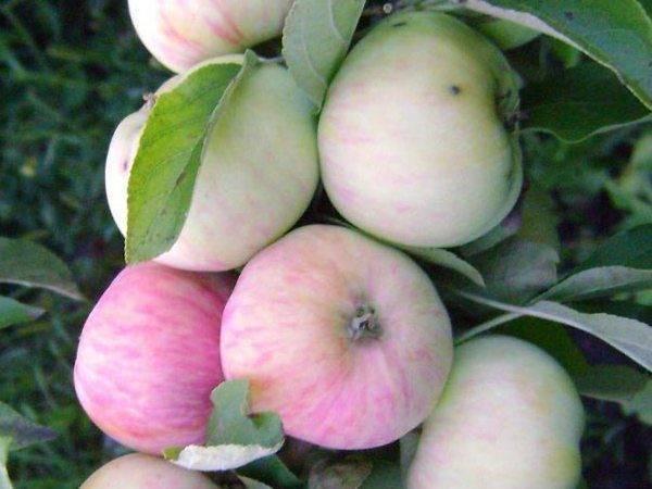 Выращивание яблони и груши в саду: особенности ухода и популярные сорта
