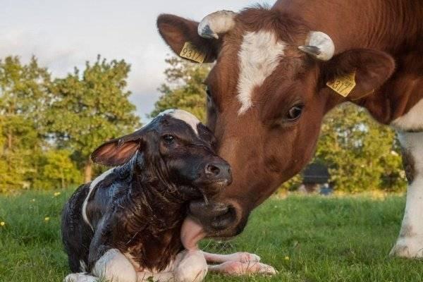 Чем кормить теленка если нет молока