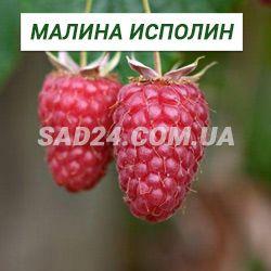Малина исполин или гордость россии: описание сорта, посадка и уход
