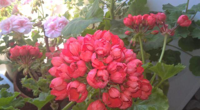 Какой сорт выбрать и как ухаживать за тюльпановидной геранью