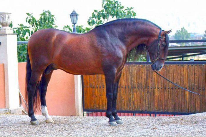 Об андалузской лошади: испанская порода лошадей, описание, характеристики