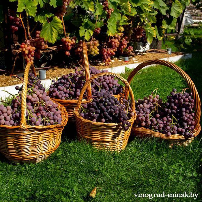 Виноград русский ранний — ягоды грибы