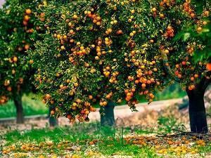 Как вырастить апельсин из косточки в домашних