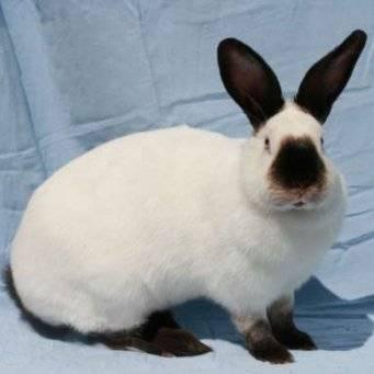 Описание породы кролика «калифорнийский»