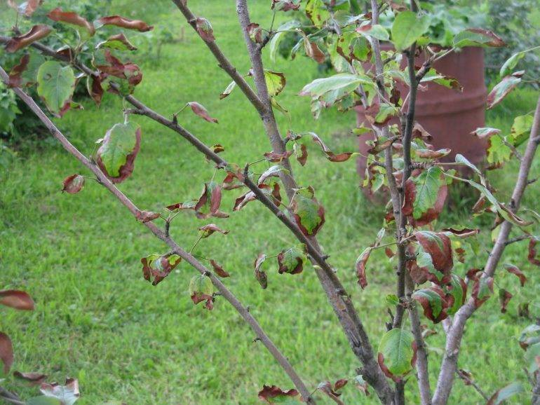 Основные причины, почему на яблоне мало листьев, информация от агрономов