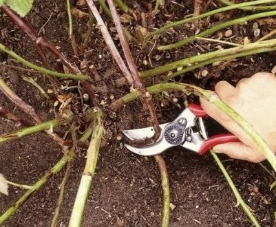 Ежевика честер торнлесс: описание сорта, нюансы выращивания, видео