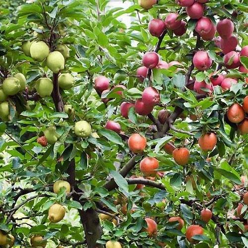Яблоня как лечебное средство, рецепты, описание - народная медицина | природушка.ру