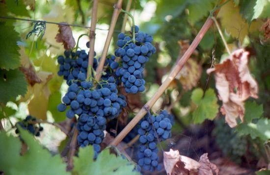Сорт винограда саперави (северный)