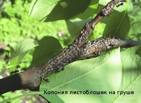 Заболевания груши и ее вредители