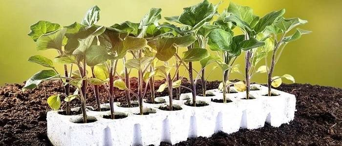 Выращивание баклажанов в открытом грунте