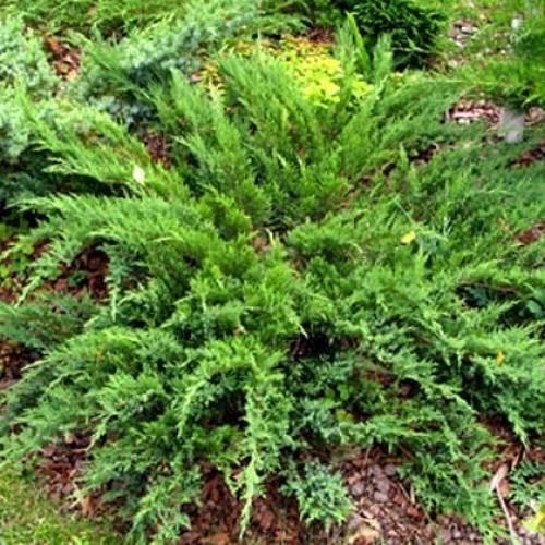 Можжевельник казацкий – как выглядит, насколько быстро растет, популярные сорта, правила посадки