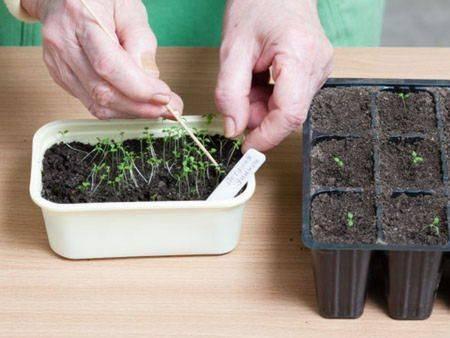 Выращивание рассады петунии дома: когда высевать, что делать если плохо растет