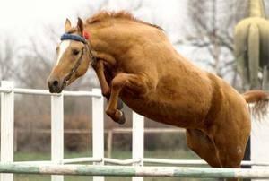 Буденновская порода лошадей — характер и характеристики