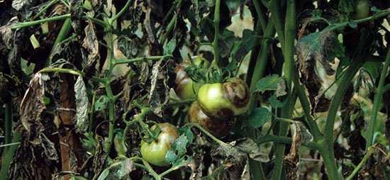 Борьба с фитофторой на помидорах в теплице